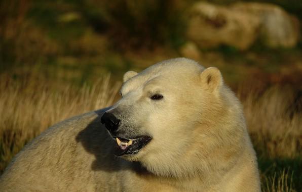 Picture white, look, face, light, background, portrait, bear, bear, polar bear