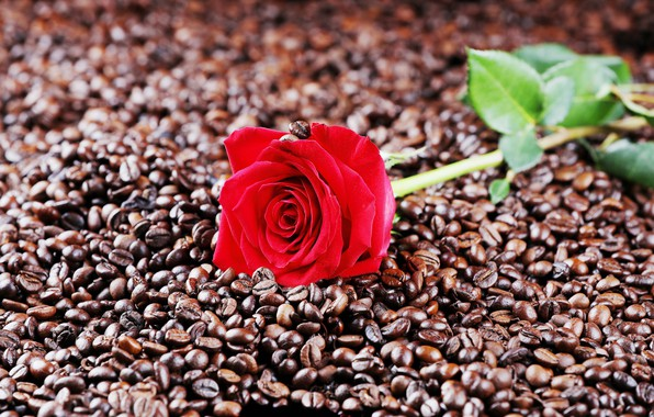 Picture photo, rose, coffee