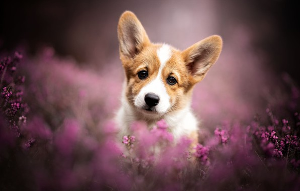 Picture look, dog, blur, puppy, ears, face, doggie, Heather, Welsh Corgi