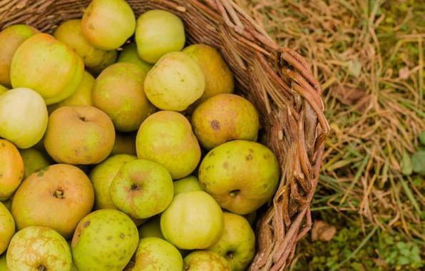 Picture autumn, trees, apples, harvest, basket