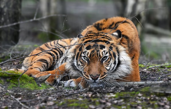 Picture nature, tiger, beast