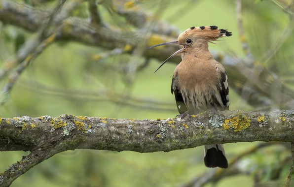 Picture tree, bird, hoopoe
