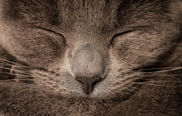 Picture cat, grey, blur, nose, grey, cat, nose