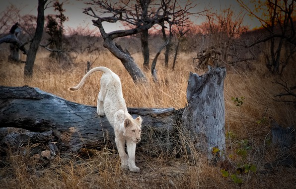 Picture Leo, Africa, beast