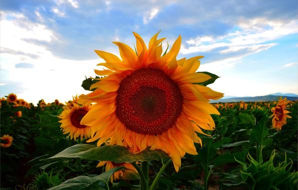 Picture Summer, Sunflowers, Summer, Sunflowers