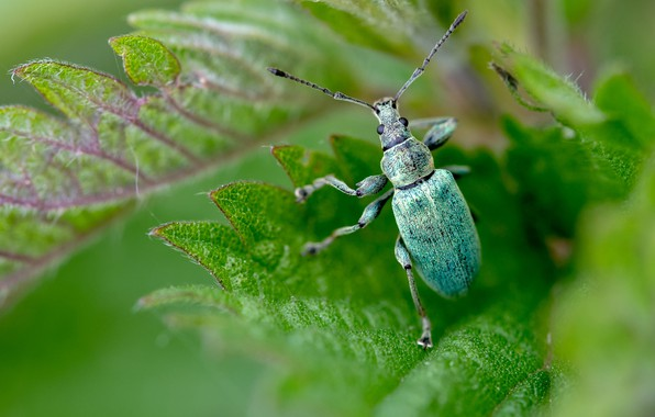 Picture greens, mustache, leaves, macro, green, background, beetle, blur, insect, bug