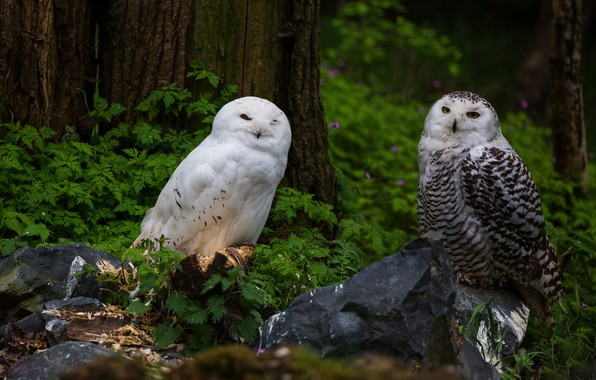 Picture forest, look, leaves, birds, nature, stones, background, tree, thickets, owl, two, pair, trunk, white, owls, …