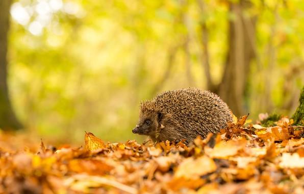 Picture autumn, forest, leaves, trees, nature, background, foliage, animal, hedgehog, walk, hedgehog, bokeh, hedgehog, hedgehog