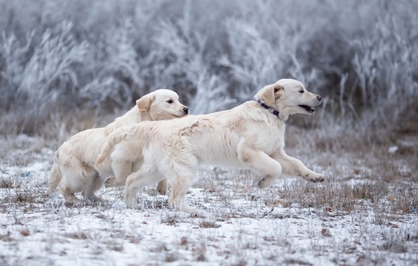 Picture winter, frost, dogs, grass, look, snow, branches, nature, pose, Park, jump, glade, the game, two, …
