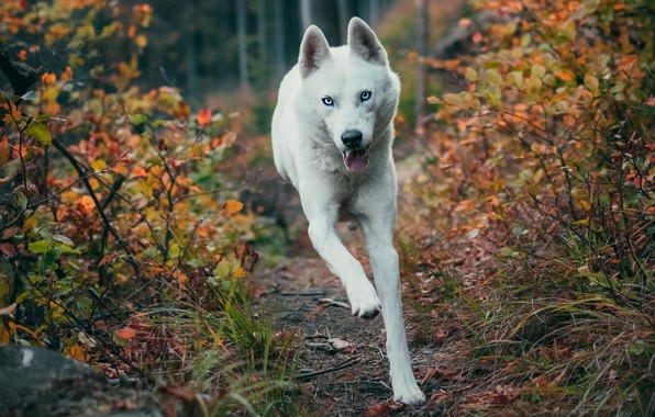 Picture autumn, forest, language, look, face, branches, nature, pose, jump, foliage, dog, paws, running, white, blue …