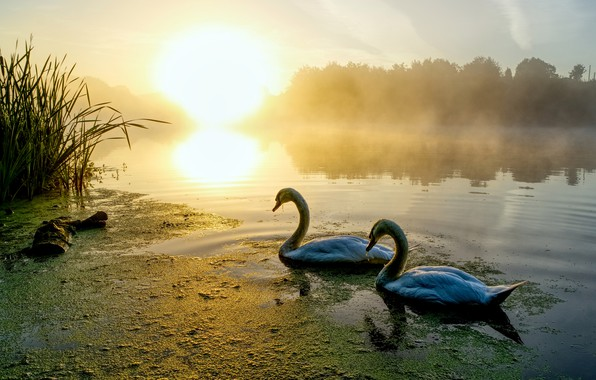 Picture forest, the sun, light, birds, fog, lake, pond, reflection, dawn, shore, morning, pair, swans, pond, ...