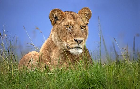 Picture the sky, grass, grass, lioness, sky, lioness
