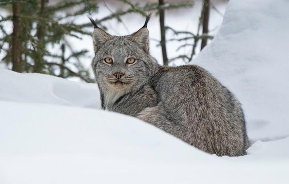 Picture winter, look, snow, lynx, wild cat