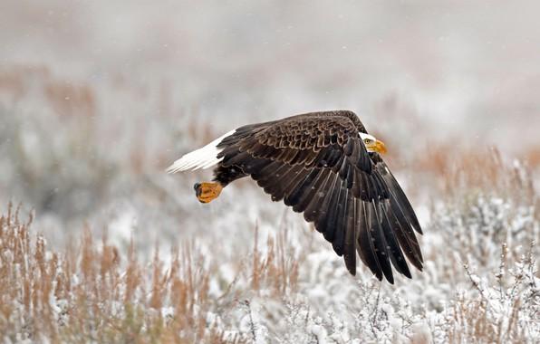 Picture bird, Wyoming, bald eagle, Grand Teton