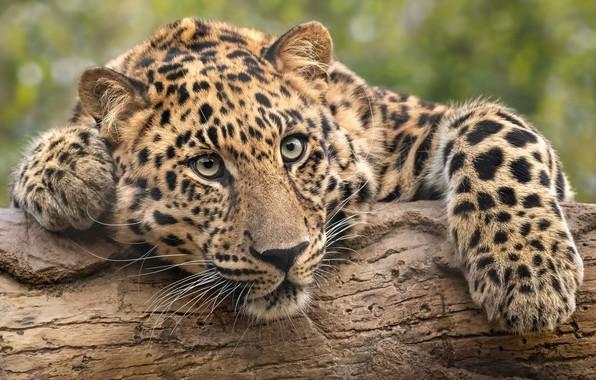 Picture look, face, portrait, paws, leopard, log, wild cat