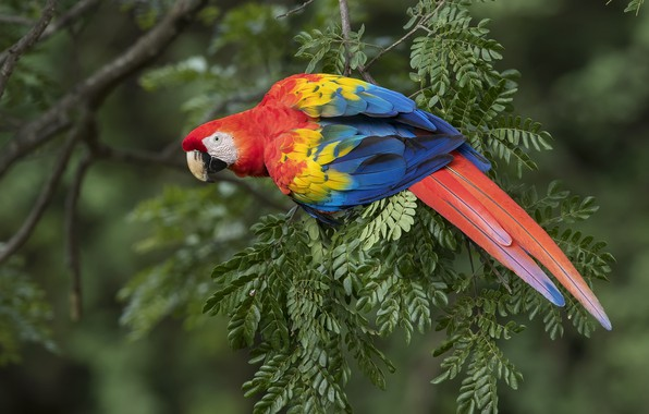 Picture bird, feathers, parrot, Ara