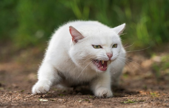 Picture cat, white, grass, cat, look, face, nature, pose, green, background, portrait, paws, mouth, fangs, grin, …