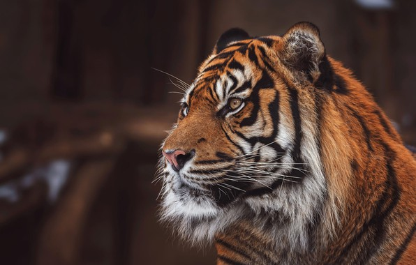 Picture look, face, tiger, pose, the dark background, portrait, handsome