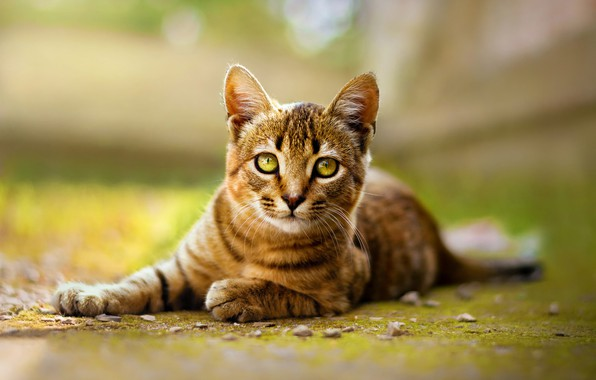 Picture cat, look, nature, pose, green, kitty, background, lies, kitty, face, striped, green-eyed, bokeh, blurred