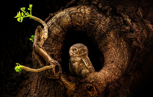 Picture tree, owl, bird, trunk, the hollow