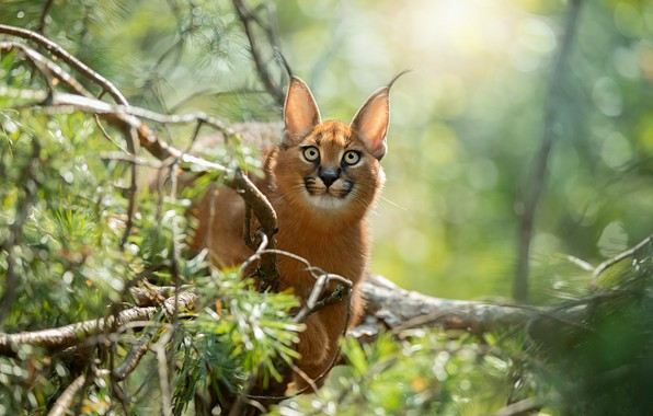 Picture look, face, light, branches, tree, portrait, lynx, needles, bokeh, Caracal, a small lynx, teen, a ...