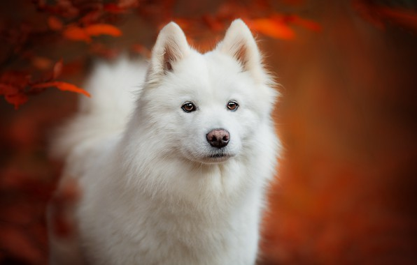 Picture autumn, look, face, leaves, background, portrait, dog, puppy, white, Samoyed