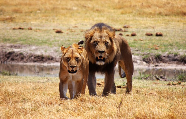 Picture field, look, pose, predators, the situation, Leo, family, pair, Savannah, fangs, wild cats, two, lions, …