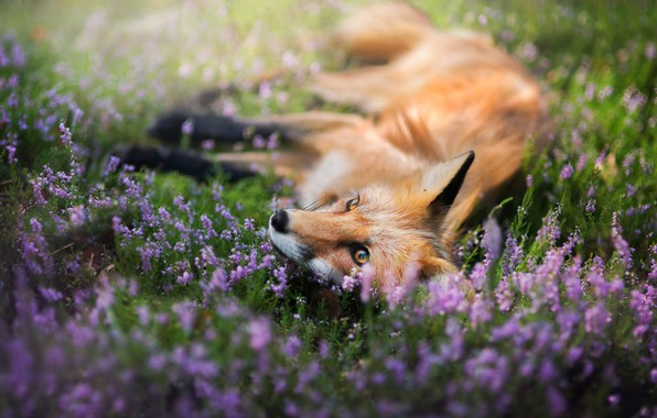 Picture look, face, flowers, nature, pose, glade, paws, meadow, Fox, lies, red, lawn, Fox, Heather