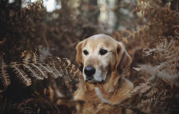 Picture forest, face, dog, fern, Golden Retriever, Golden Retriever