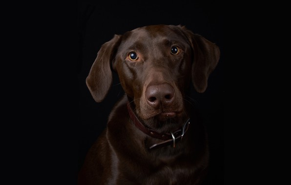 Picture portrait, dog, black background