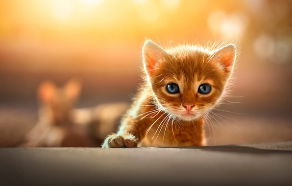 Picture cat, look, light, yellow, pose, kitty, background, paw, baby, red, kitty, face, bokeh, blue-eyed, Boo