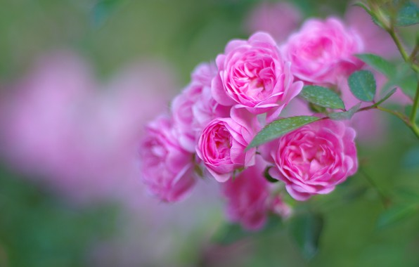 Picture leaves, flowers, bright, roses, blur, branch, pink, buds, green background, roses, rose Bush