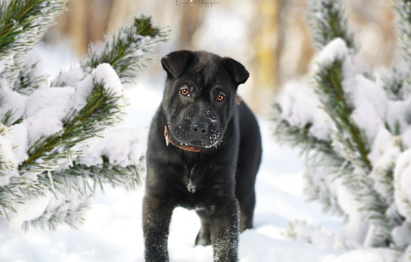 Picture winter, each, spruce, dog, puppy