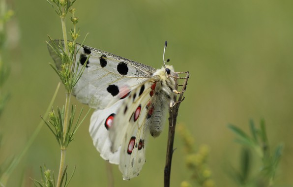 Picture background, butterfly, wings