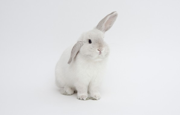 Picture rabbit, white background, ears, white rabbit