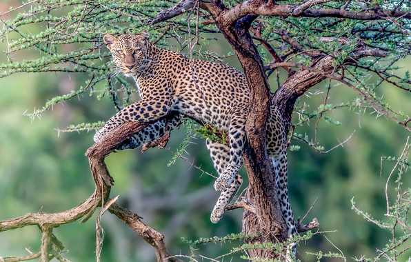Picture look, tree, stay, leopard, wild cat, on the tree