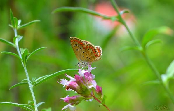 Picture Butterfly, Macro, Butterfly, Macro.