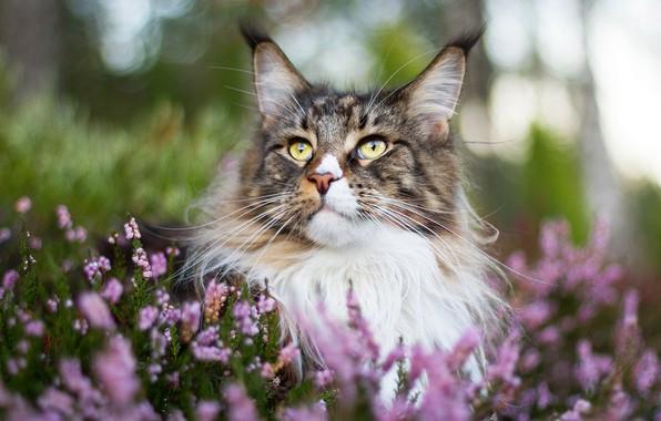 Picture cat, portrait, muzzle, bokeh, Maine Coon, cat, Heather