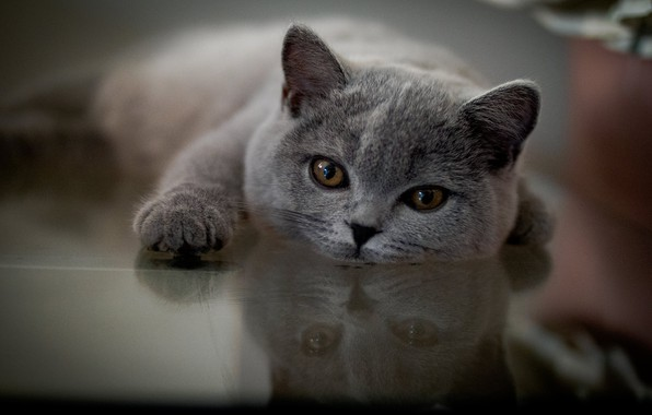 Picture look, reflection, muzzle, foot, cat, British Shorthair