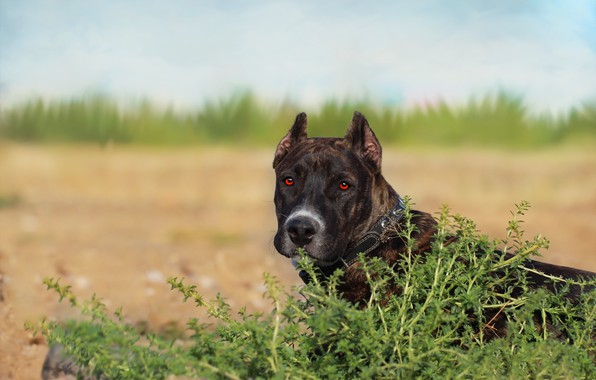 Picture background, each, dog, pit bull
