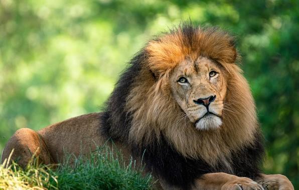Picture look, face, pose, portrait, Leo, lies