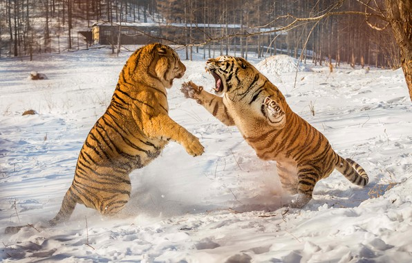 Picture winter, snow, nature, tiger, pose, paws, fight, mouth, pair, the snow, tigers, two, fight, rivals