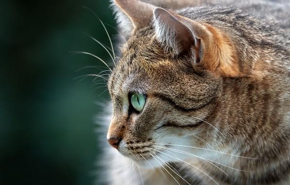 Picture cat, cat, background, portrait, muzzle, profile, cat