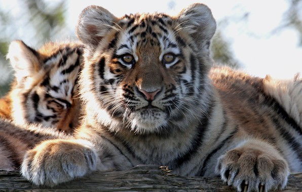 Picture look, tiger, portrait, paws, cub, kitty, face, wild cat, tiger