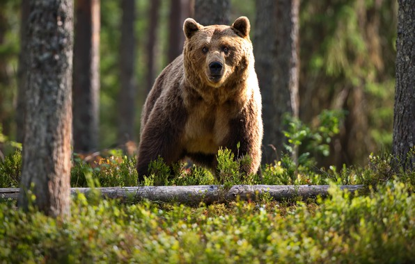 Picture forest, trees, nature, animal, trunks, predator, bear, brown, Alexander Perov