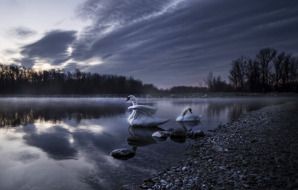 Picture night, fog, lake, swans