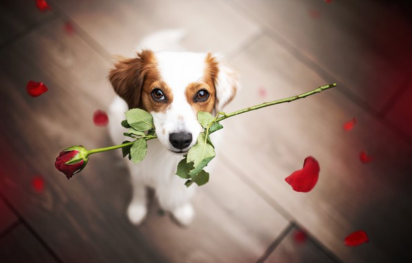Picture flower, look, rose, dog, petals, face, congratulations