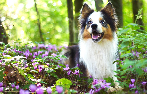 Picture greens, forest, look, flowers, nature, pose, background, glade, dog, spring, puppy, bokeh, cyclamen, the border …