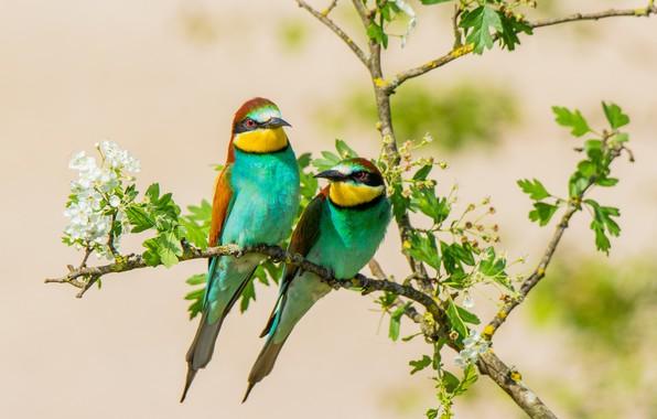 Picture birds, pair, peeled, schurka