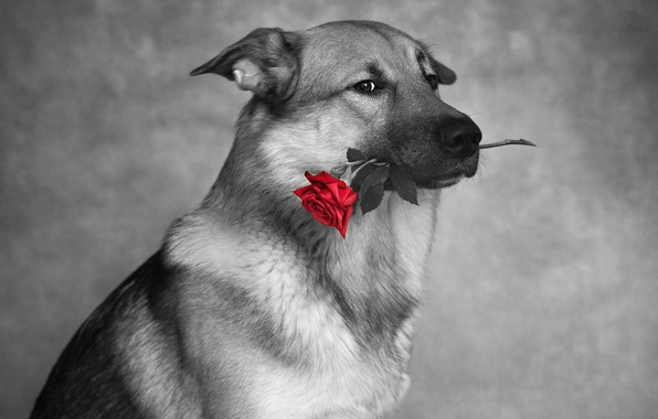 Picture look, photo, rose, dog, Nikita Tikkа